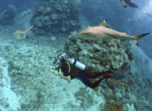 Divers. Blacktip Reef Shark (Carcharhinus melanopterus) swimming over reef, with scuba divers Royalty Free Stock Images