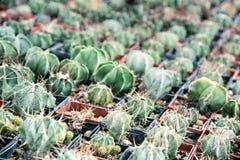 Divers cactus dans les pots de fleurs Image stock