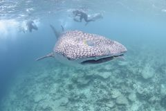Large whale shark approaching towards you stock photography