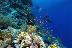 Divers on a colourful reef Stock Photos