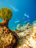 Divers at the corals. With a sea flower Royalty Free Stock Images
