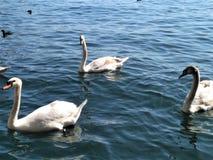 Divers cygnes nageant sur le lac Zurich Photographie stock