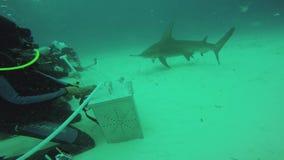 Divers feeding floating hammer fish underwater. Ocean wildlife. Bubbles. Depth. Diving. Blue clean water stock video footage
