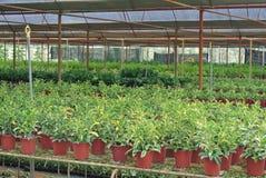 Divers fleurs et arbuste à l'intérieur de crèche Images stock