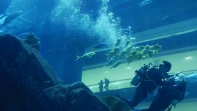 Divers float from behind a reef in aquarium of the Dubai Mall shopping center. UAE, DUBAI - 26 APRIL 2016: A scuba divers float from behind a reef in aquarium of stock video footage