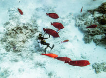 Divers in gear swim under water amid coral reef and red fishes Stock Photo