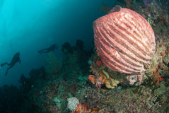 Divers, giant barrel sponge in Ambon, Maluku, Indonesia underwater photo. Giant barrel sponge Xestospongia has various color, such as red, pink Stock Image