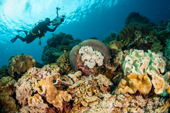 Divers, mushroom leather coral in Banda, Indonesia underwater photo Stock Images