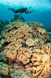 Divers, mushroom leather coral in Banda, Indonesia underwater photo Royalty Free Stock Photo
