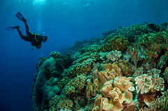 Divers, mushroom leather coral in Banda, Indonesia underwater photo Stock Image