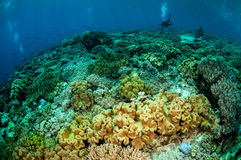 Divers, mushroom leather coral in Banda, Indonesia underwater photo Stock Photo