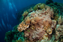 Divers, mushroom leather coral in Banda, Indonesia underwater photo Stock Photos