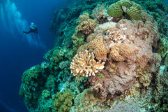 Divers, mushroom leather coral in Banda, Indonesia underwater photo Stock Photography