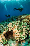 Divers and mushroom leather corals in Banda, Indonesia underwater photo Stock Photos