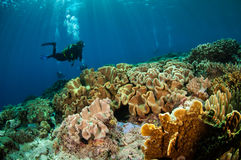 Divers and mushroom leather corals in Banda, Indonesia underwater photo Stock Image