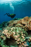 Divers and mushroom leather corals in Banda, Indonesia underwater photo Royalty Free Stock Photo