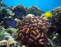 Divers poissons et corral tropicaux chez Maui Hawaï photos stock