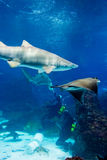 Divers with sand tiger shark Royalty Free Stock Images