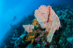 Divers and sea fan Muricella in Banda, Indonesia underwater photo Royalty Free Stock Photos