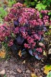 Divers sedum spectabile de Hylotelephium planté ensemble dans le jardin d'été Photo libre de droits