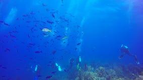 Divers swim in cloud of colourful reef fish in the Jardin de la Reina, Cuba stock footage