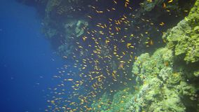 Divers swim near a coral reef along a vertical wall on the Reef Elphinstone, where a lot of tropical fish, the Red Sea stock video