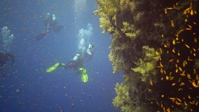 Divers swim near a coral reef along a vertical wall on the Reef Elphinstone, where a lot of tropical fish stock footage