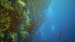 Divers swim near a coral reef along a vertical wall on the Reef Elphinstone, where a lot of tropical fish, the Red Sea. Egypt stock video footage