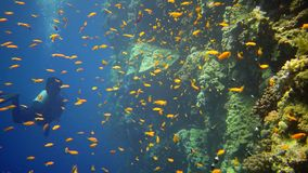 Divers swim near a coral reef along a vertical wall on the Reef Elphinstone, where a lot of tropical fish, the Red Sea. Egypt stock video