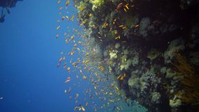 Divers swim near a coral reef along a vertical wall on the Reef Elphinstone, where a lot of tropical fish, the Red Sea stock video footage