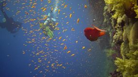 Divers swim near a coral reef along a vertical wall on the Reef Elphinstone, where a lot of tropical fish, the Red Sea. Egypt stock footage