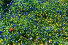 Divers Texas Wildflowers image libre de droits