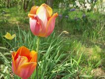 Divers tulipes, lilas et herbe image stock