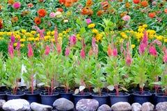 Divers types de fleurs dans des pots qui sont placés dans le jardin Photos libres de droits