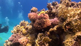 Divers underwater on coral reef Abu Nuhas in Red sea. Swimming in world of colorful beautiful wildlife. Inhabitants in search of food. Abyssal diving stock video footage