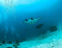 Divers watch Manta Rays Stock Image