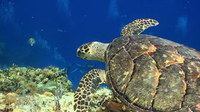 Divers watching sea turtle swim through coral stock video