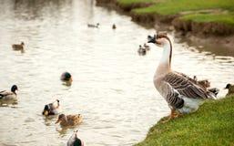 Diversa especie de pájaros en el lago Fotografía de archivo