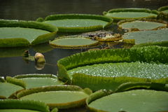 Diversa licencia del loto que flota en el lago Fotos de archivo libres de regalías