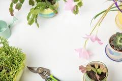 Diversa succulents y flor o lirio rosado de la lluvia, Zephyranthes grandiflora, cactus de la Navidad, herramienta que cultiva un Imagenes de archivo