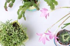 Diversa succulents y flor o lirio rosado de la lluvia, Zephyranthes grandiflora, cactus de la Navidad, herramienta que cultiva un Fotos de archivo libres de regalías