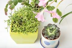 Diversa succulents y flor o lirio rosado de la lluvia, Zephyranthes grandiflora, cactus de la Navidad, herramienta que cultiva un Foto de archivo libre de regalías