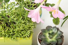 Diversa succulents y flor o lirio rosado de la lluvia, Zephyranthes grandiflora, cactus de la Navidad, herramienta que cultiva un Imagen de archivo