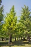 Diversas árvores da sequoia vermelha na natureza completa um o dia ensolarado do céu azul Imagem de Stock Royalty Free