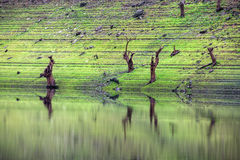 Diversas árvores inoperantes no banco do reservatório Fotografia de Stock