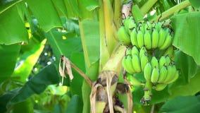 Diversas bananas unripe video estoque