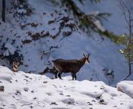 Diversas cabras-montesas no selvagem Imagem de Stock Royalty Free