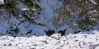 Diversas cabras-montesas no selvagem Fotos de Stock