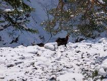 Diversas cabras-montesas no selvagem Imagens de Stock Royalty Free