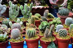 Diversas clases de cactus Imagen de archivo